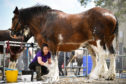 Exhibitors prepare stock ahead of judging at The Royal Highland Show.