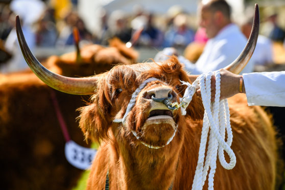 """Show cattle were looking their best at Ingliston but the beef industry is """"screaming blue murder"""" over falling prices."""