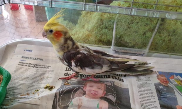 The cockatiel was rescued in Kirkcaldy.