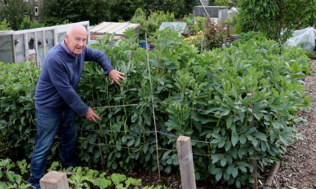 John tying up the broad beans