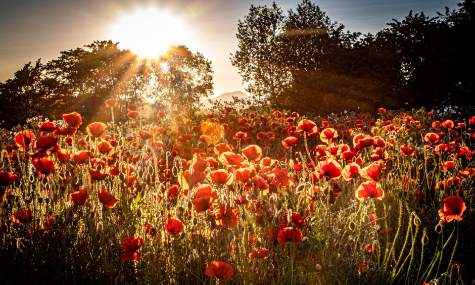 Poppies in a field as summer sun sets behind the hills in Markinch, Fife. Picture by Steve Brown / DCT Media
