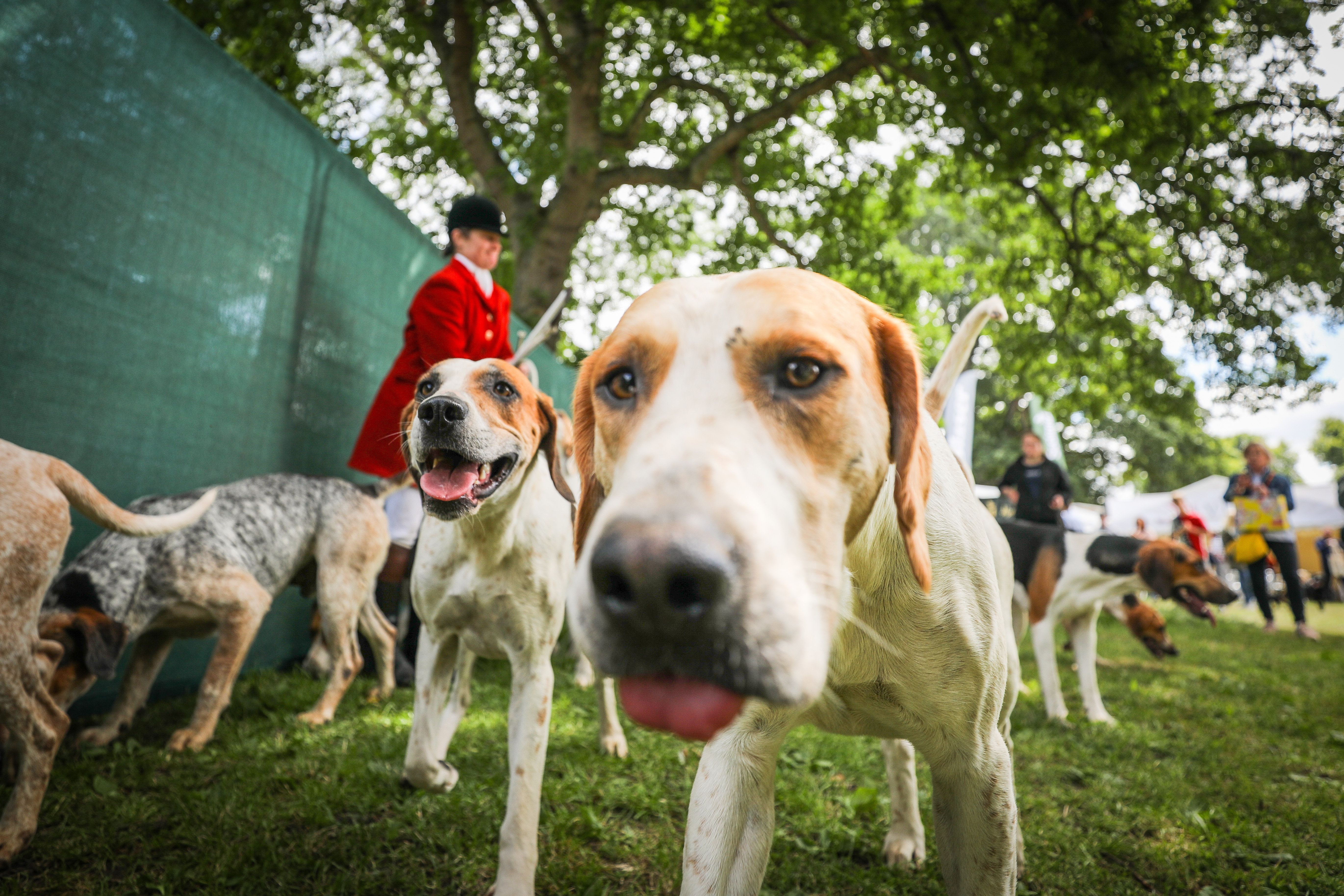 Claire Bellamy who displayed her hounds in the ring at the Scottish Game Fair at Scone Palace.