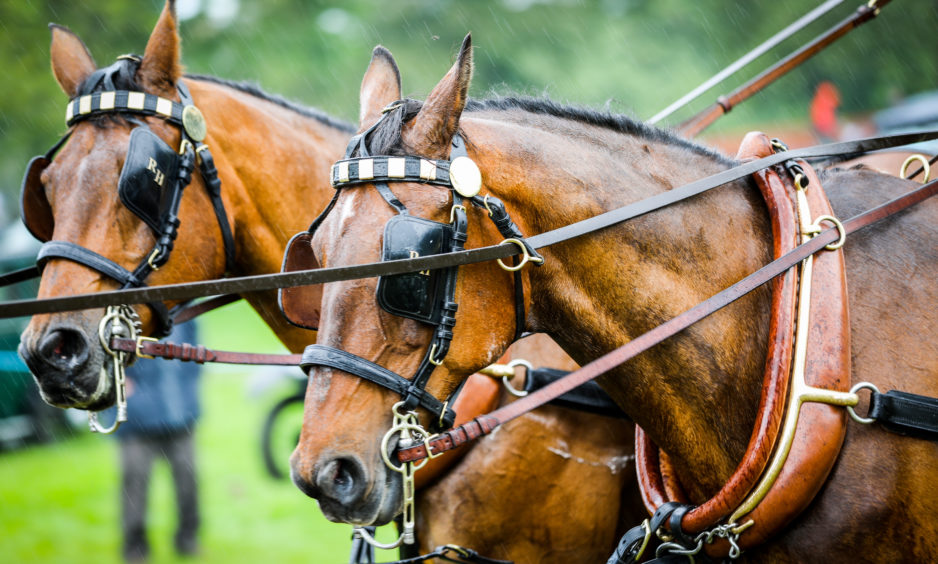 The horses who led the historic horse-drawn carriage into the ring.
