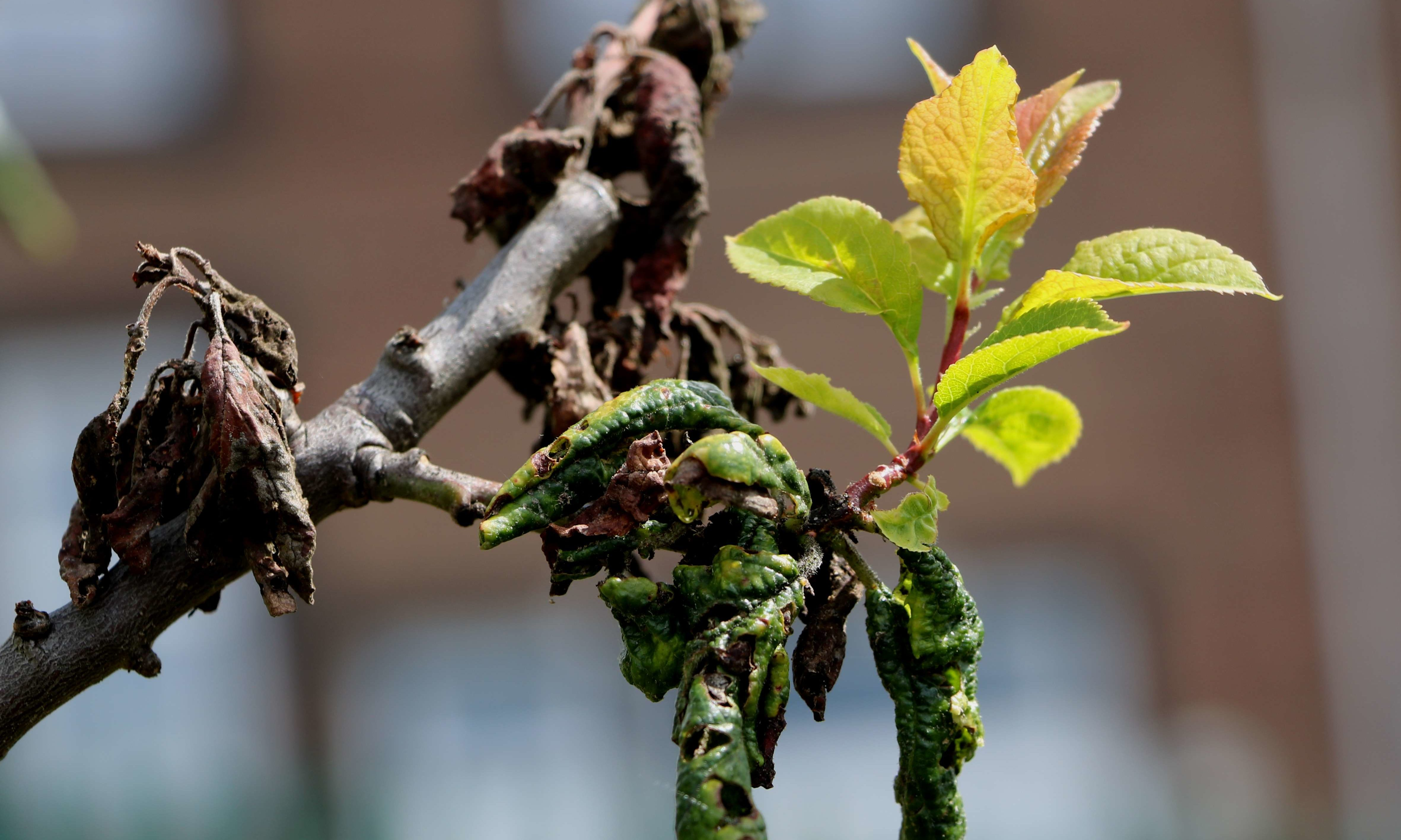 Rosy leaf curling aphid on plum