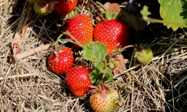 Strawberry Florence ready for picking.