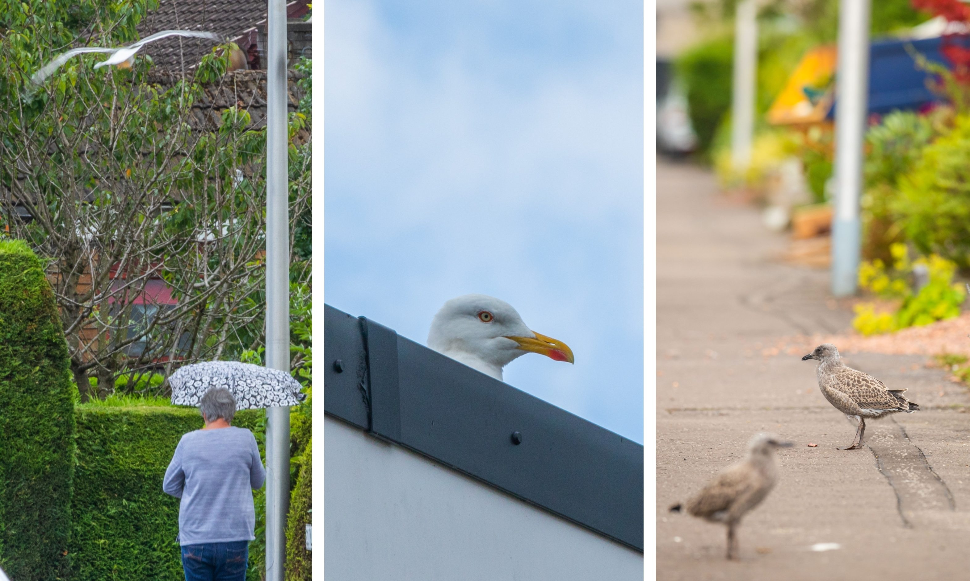 Gulls have been attacking residents on an Inverkeithing street.