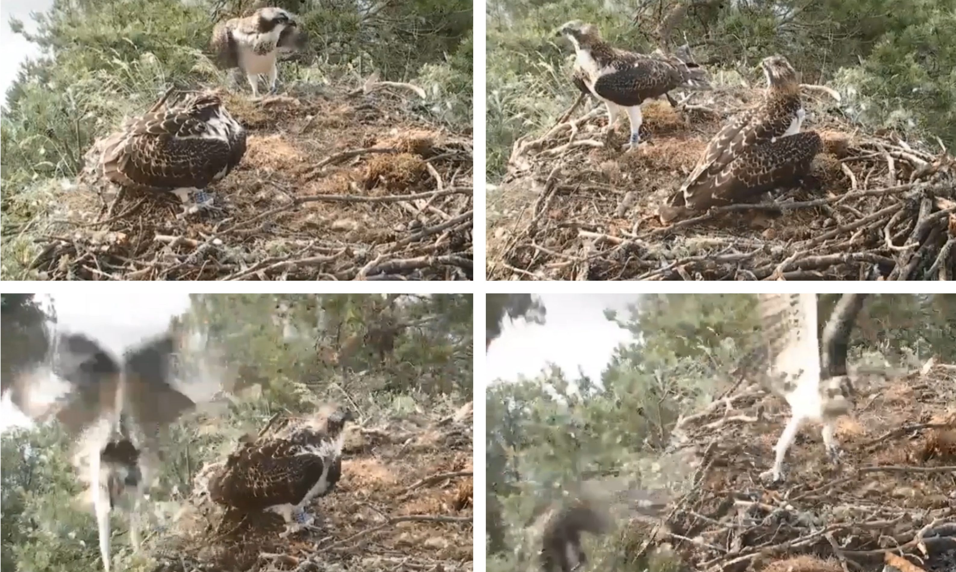 An osprey chick crashes out of its nest at Loch of Lowes.