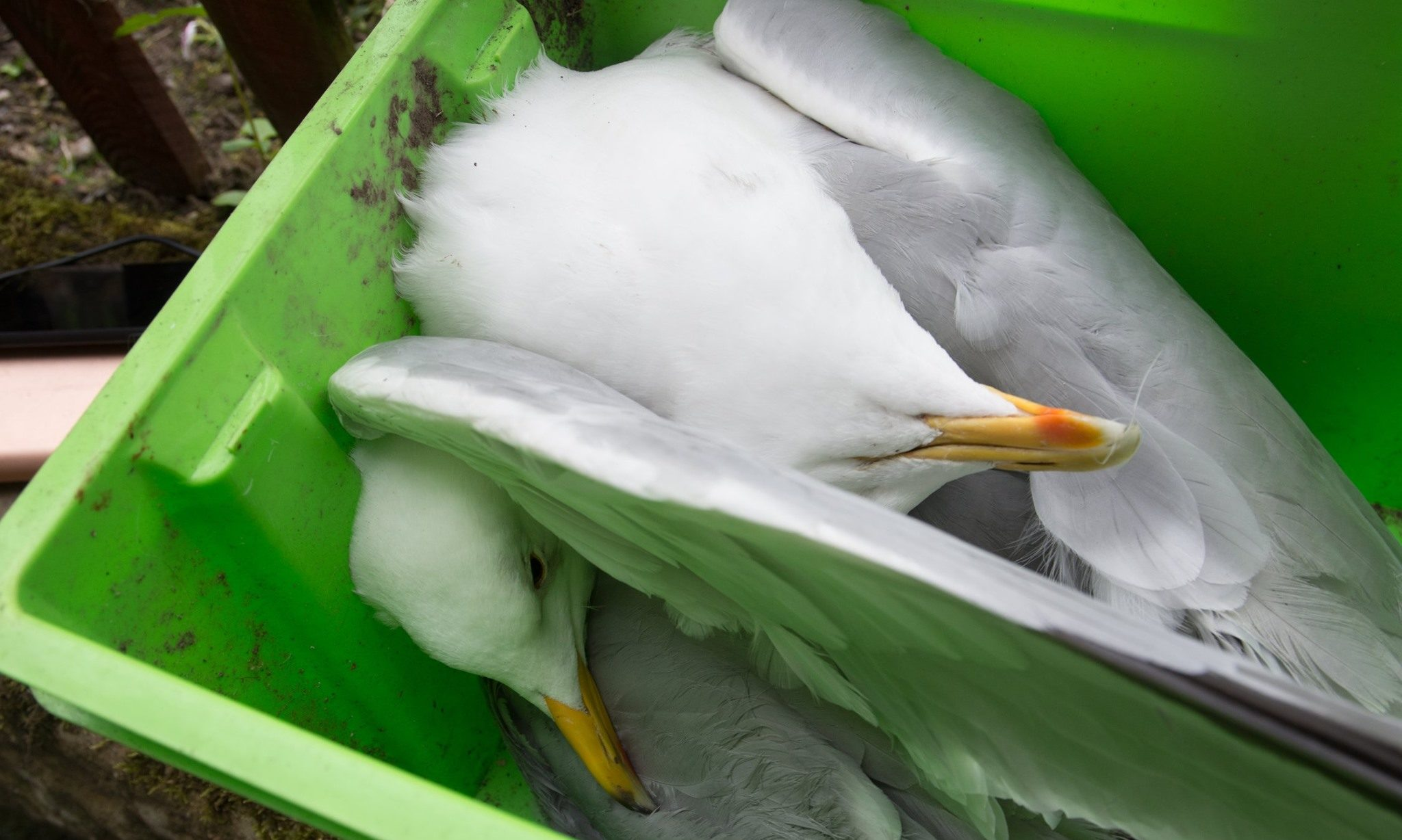 The two dead gulls