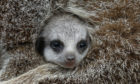 A baby meerkat begins to leave its den and explore the enclosure at Blair Drummond Safari Park near Stirling. The four week old pups were born in their underground den and are reared by their mother with the help of other members of the mob.