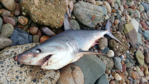 The shark washed up on Arbroath beach. (Picture: Laura Laws).