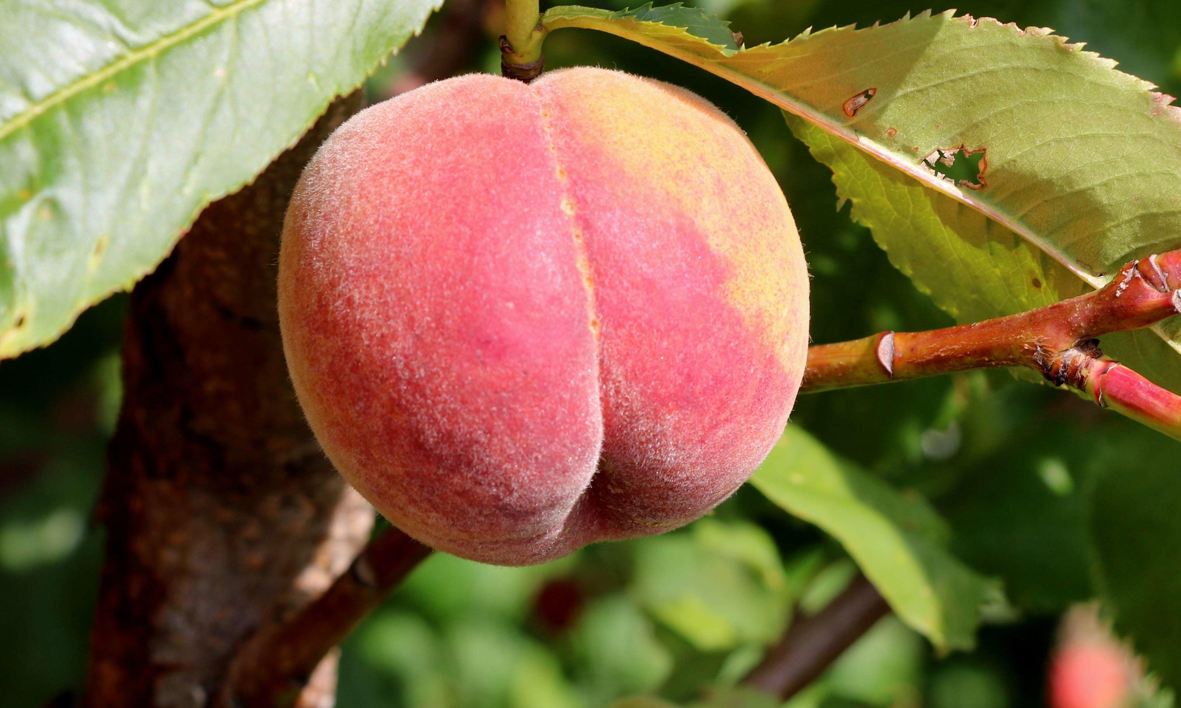 Avalon Pride in 2018 the last Peach