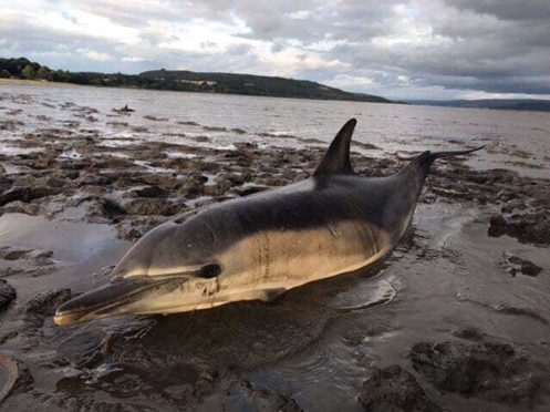 Dolphins were stuck on mud flats in the Forth.