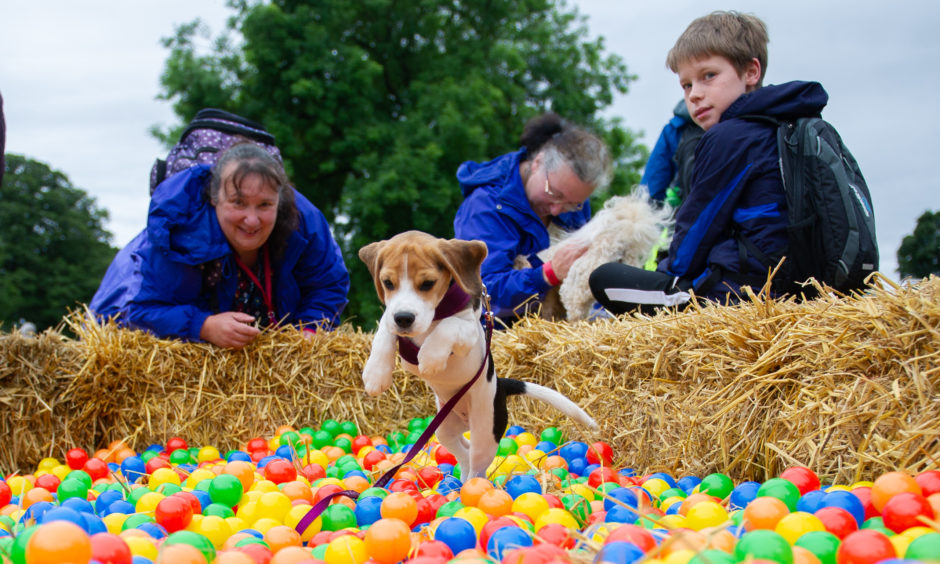 'Caro' a 15 month old Beagle enjoying the ball pit.