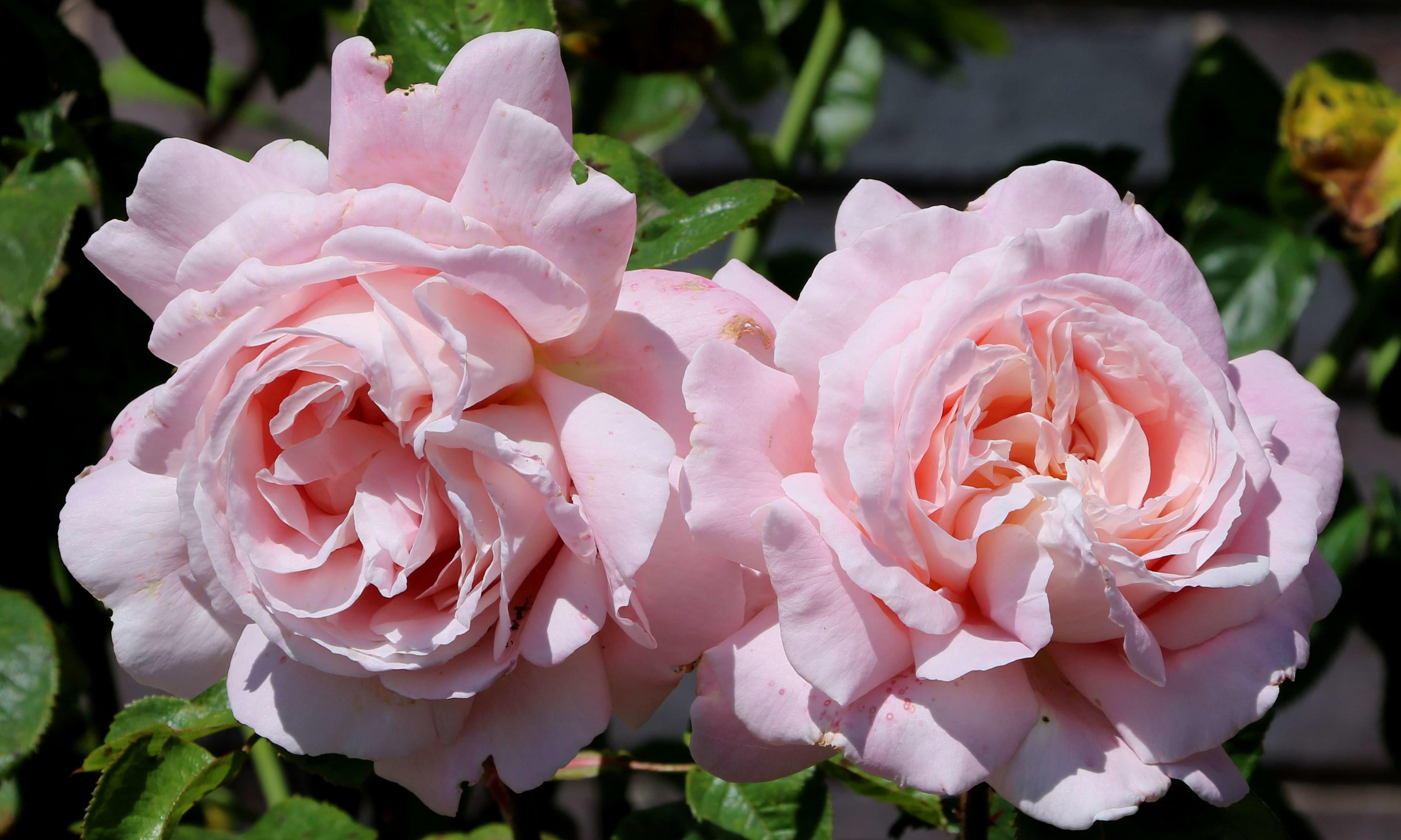 Pink rose Myriam