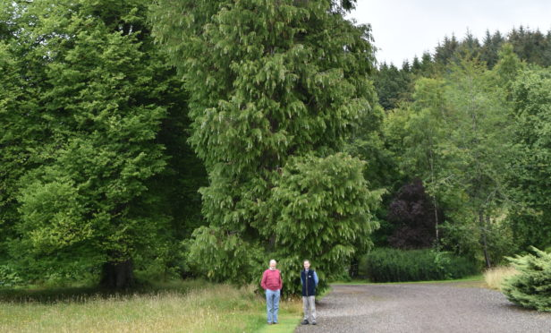 The tallest Leylandii tree in Scotland has been discovered in Gleneagles