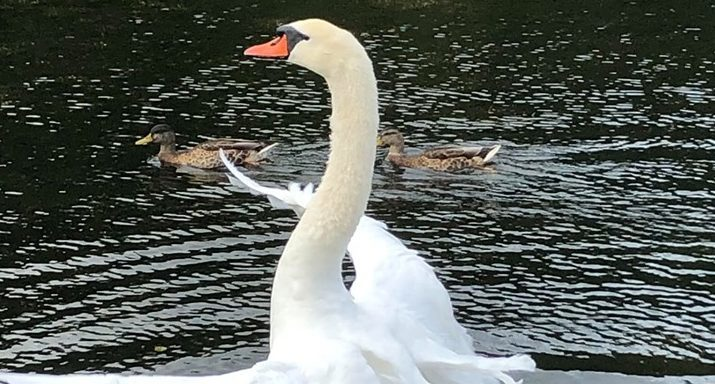 The new swans have been reported to be aggressive.