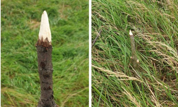 Spikes found near Levenmouth Academy.