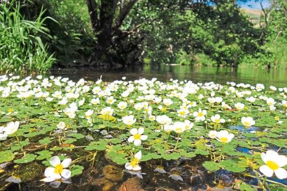 Watercrowfoot in nature