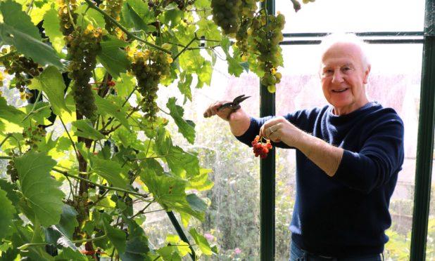 Picking Seigerrebe grapes