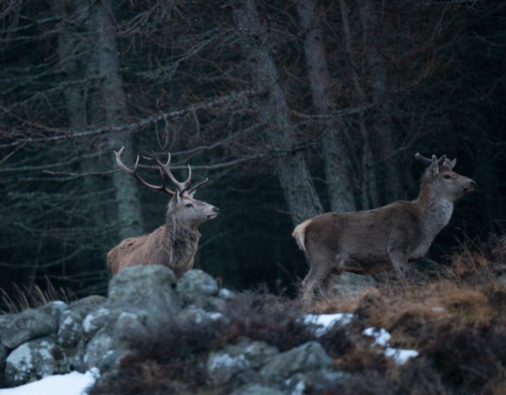 Red deer in forestry.