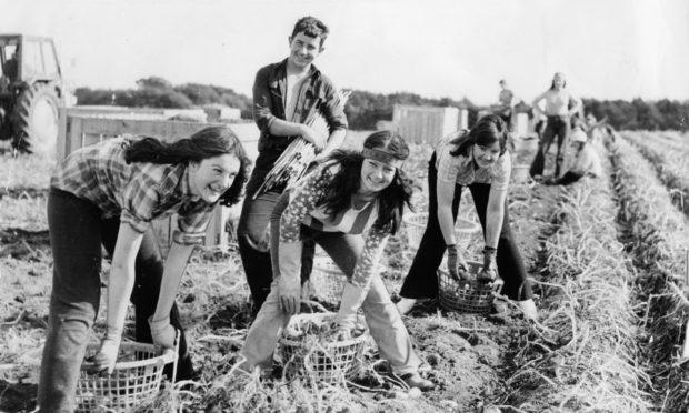 Tattie picking near Arbroath in the 1970s.