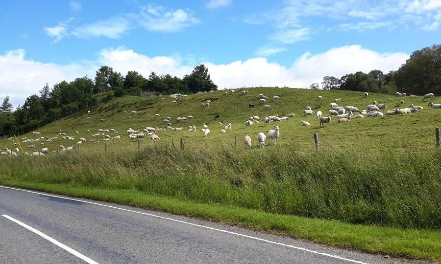 The lambs were stolen from a pen near Killin.
