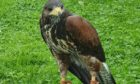 The hawk is missing from Barns of Claverhouse area.