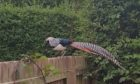 The Lady Amherst's Pheasant which was spotted in St Andrews.