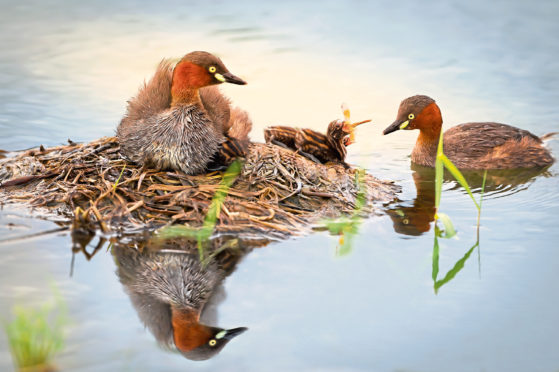 The little grebe, also known as a dabchick. Little Grebe (Tachybaptus ruficollis)  chick eating dragonfly at floating nest