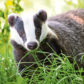Badgers in the study covered 61% more land each month.