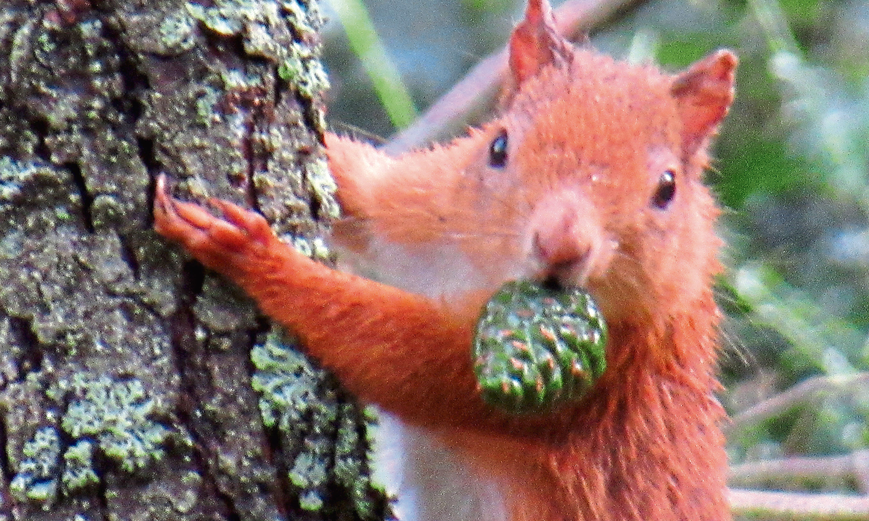Red squirrel in woods at Stormont.