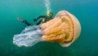 Lizzie Daly swimming alongside a massive barrel jellyfish.