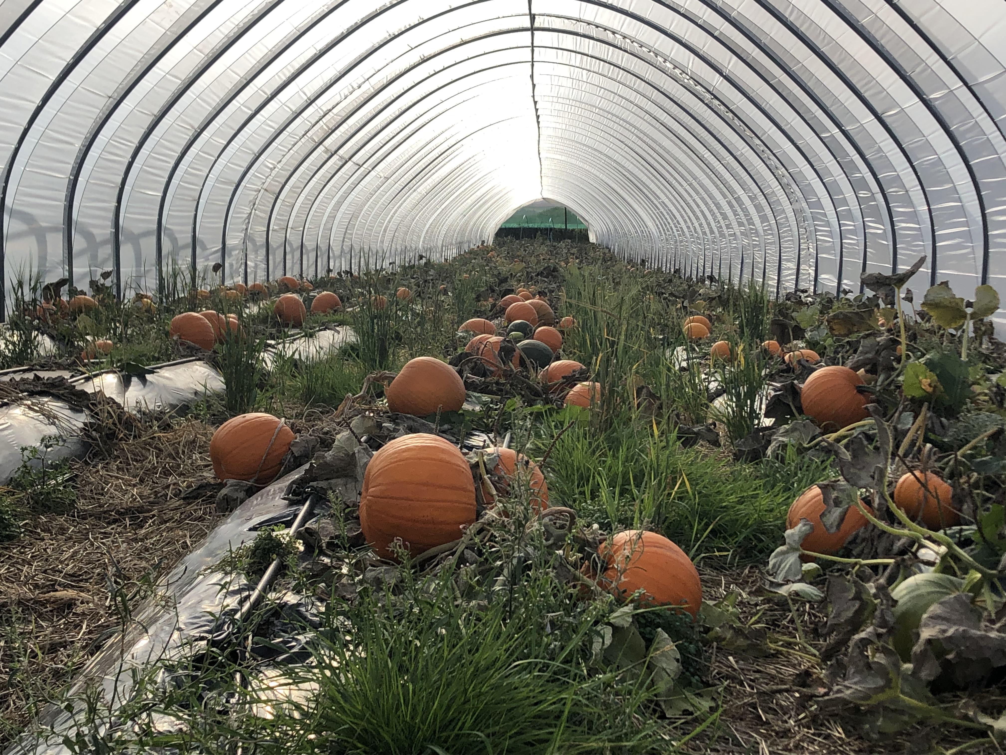 The rich crop of pumpkins at Broadslap farm, Dunning