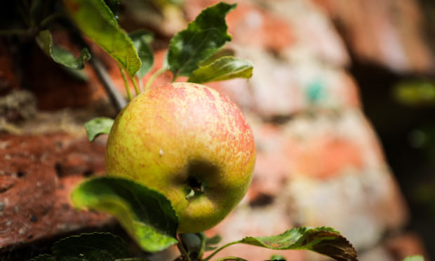 Apples growing at the Megginch Castle orchard.