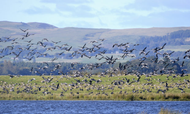 Pink-footed geese can be seen at Loch Leven.