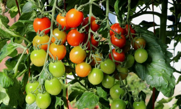 Still time for cherry tomatoes to ripen up