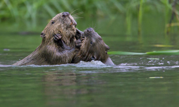 Beavers have been reintroduced in Scotland after being hunted to extinction here in the 1500s.