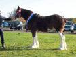 Scott Greenhill's senior and reserve supreme champion at Lanark Foal Show was Fordelhill Queen Victoria.