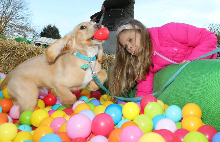 Cocker spaniel Alfie from Montrose in the ball pit with Evie Wallace.
