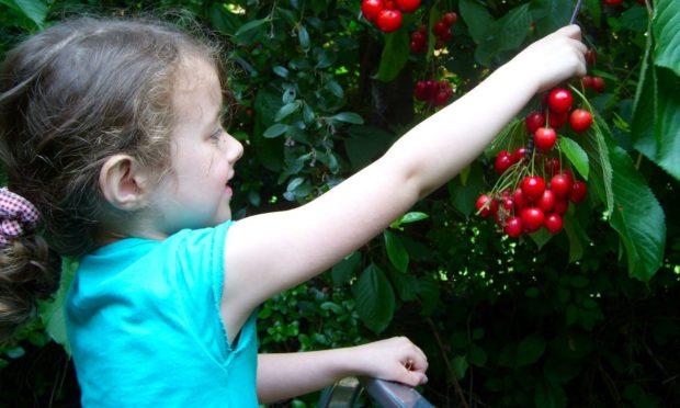 Sophie picking cherries