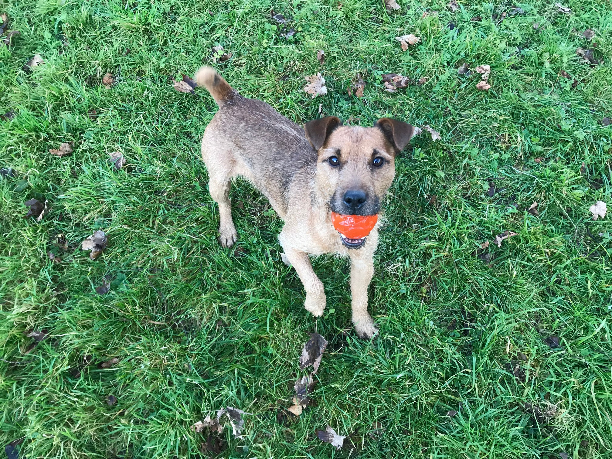 The Scottish SPCA is seeking a home for Digger, a Lakeland terrier cross.