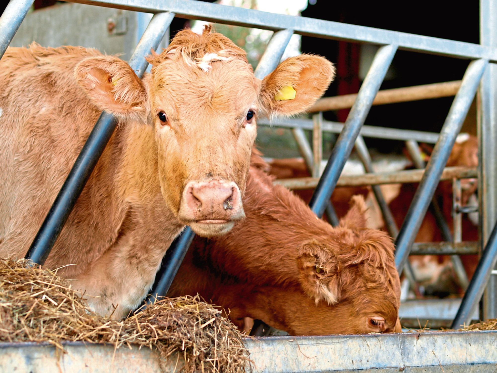 Hundreds of producers are keeping cattle which are not free of bovine viral diarrhoea.