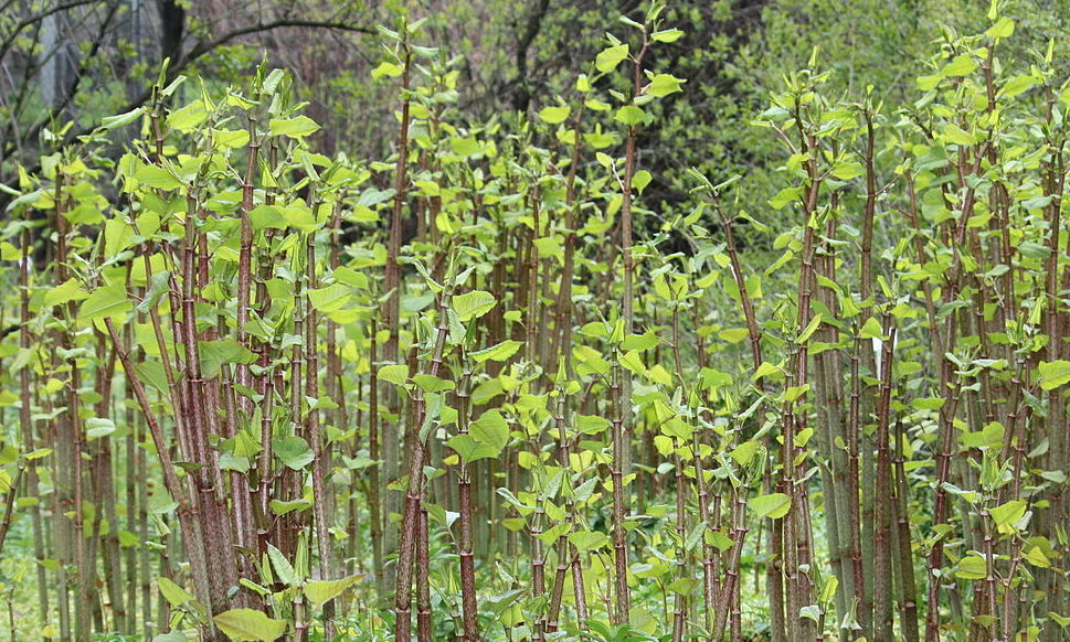 Invasive Japanese knotweed will be tackled in the St Andrews Green Corridors project.