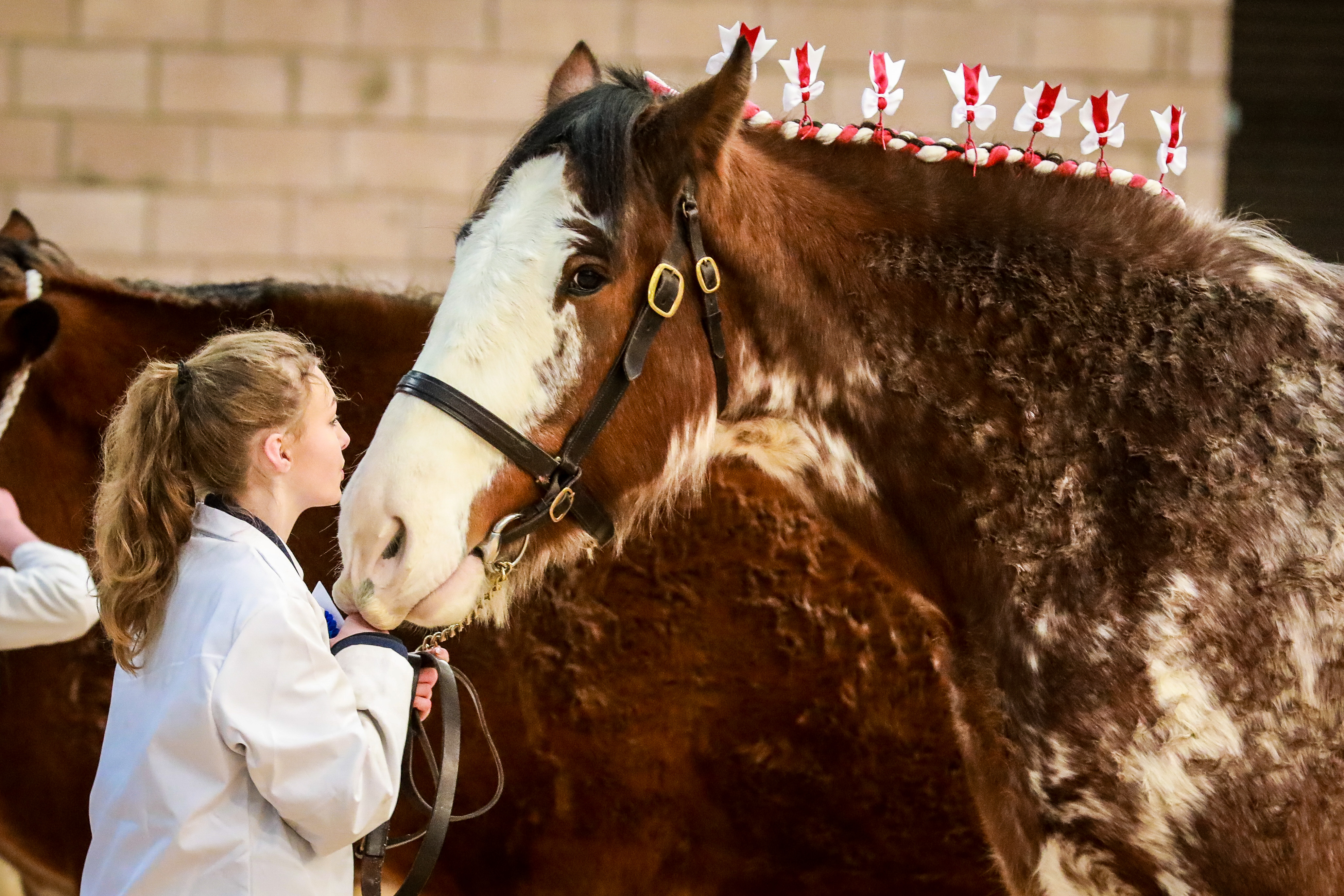 A Clydesdale prepares to face the judges at the Winter Fair in Lanark.