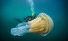 This incredible picture shows a diver swimming with a huge barrel jellyfish that was 'as big as a human' off the British coast.