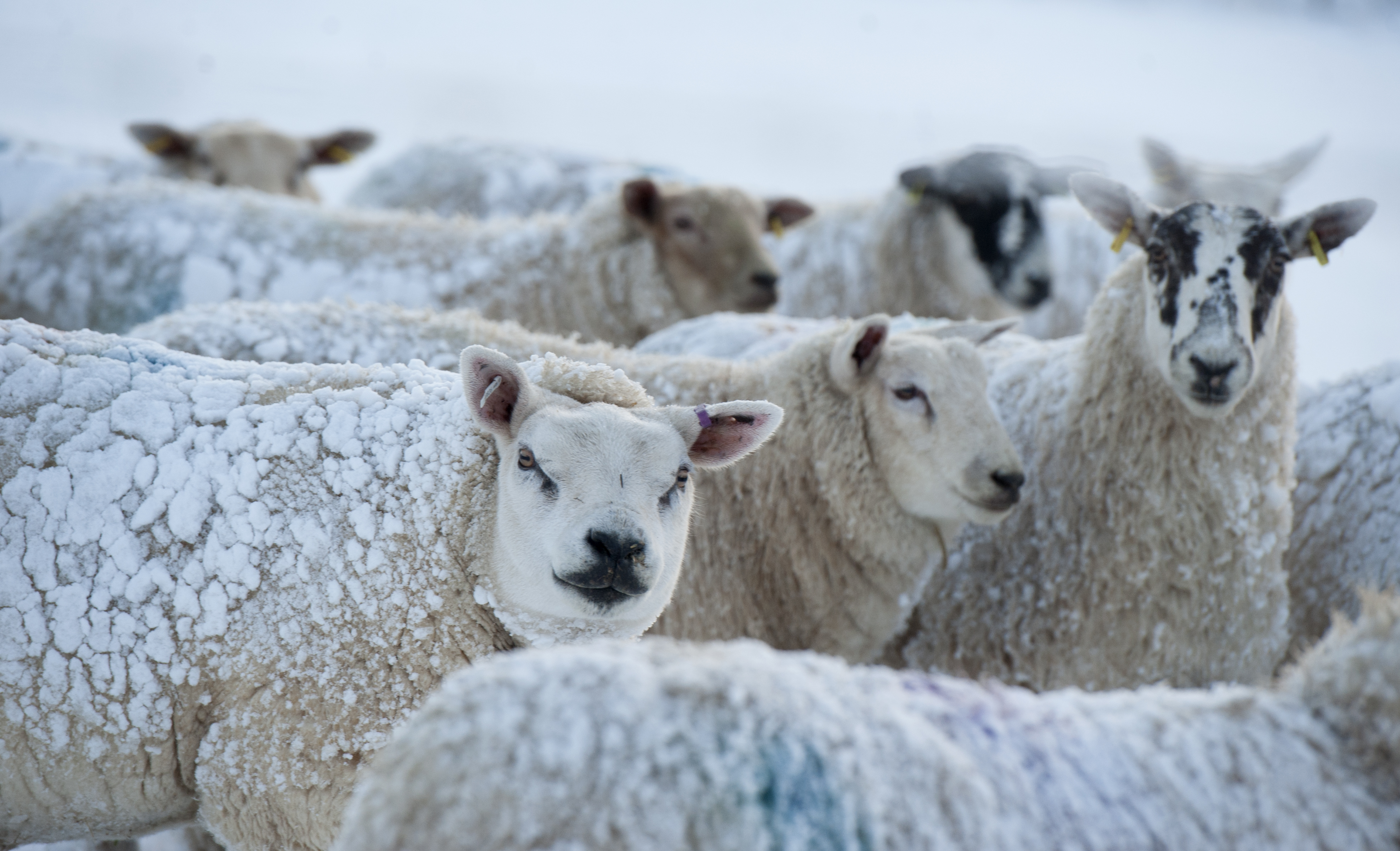 The contagious disease is estimated to cost the Scottish sheep industry around £9 million per annum.