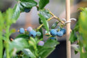 New blueberry and blackberry breeding programmes were launched during 2018.