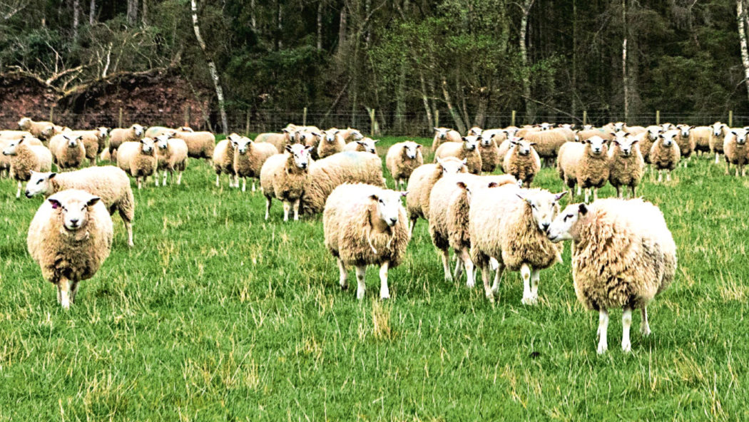 Scanning sheep could help to reduce cases of an infectious lung cancer.
