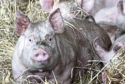 Healthy pigs: It is feared African Swine Fever could hit the UK