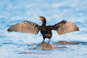 Great Cormorant-The Great Cormorant (Phalacrocorax carbo), known as the Great Black Cormorant across the Northern Hemisphere,; Shutterstock ID 1619117533; Purchase Order: -